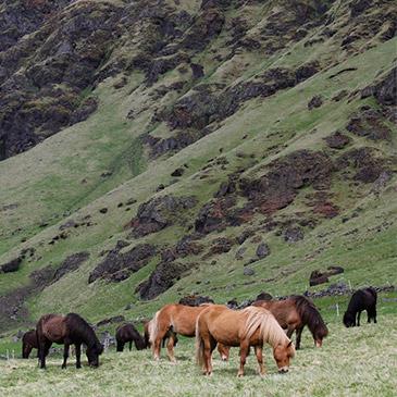 WK IJslandse paarden in Oirschot