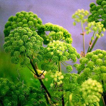 Angelica - de geneeskrachtige plant